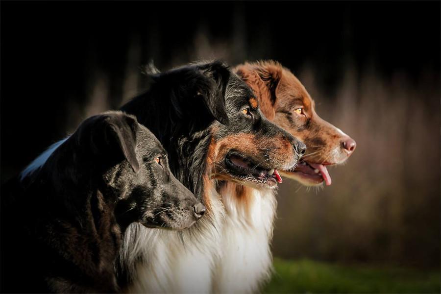 diese 3 Rueden sind konzentriert auf die Kommandos. Guten Hundeschule in deiner Nähe